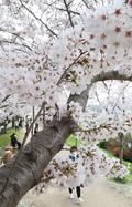 휴일 오후 벚꽃길 산책