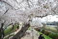 휴일 벚꽃길 산책