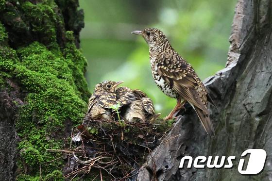 둥지 지키는 호랑지빠귀