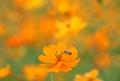 황화코스모스 꿀 따는 벌