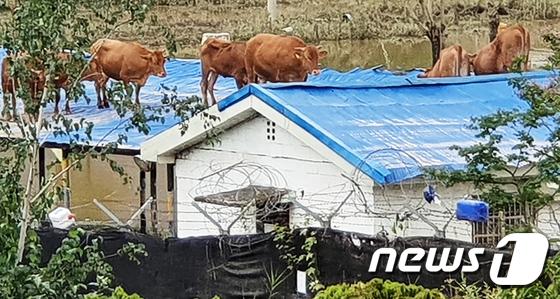 지붕으로 대피한 소떼