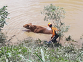 '물에 빠진 소를 구출하라'