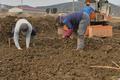 연근 수확 바쁘다 바빠
