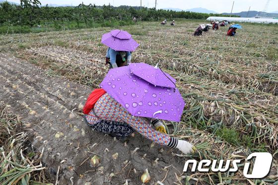 '파라솔 모자' 쓰고 양파 수확